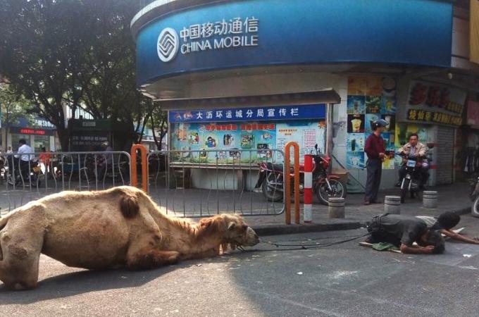 人々の同情を引くために四肢のないラクダを並べ物乞いをする男。事故で失ったとされるが故意に切断された可能性も