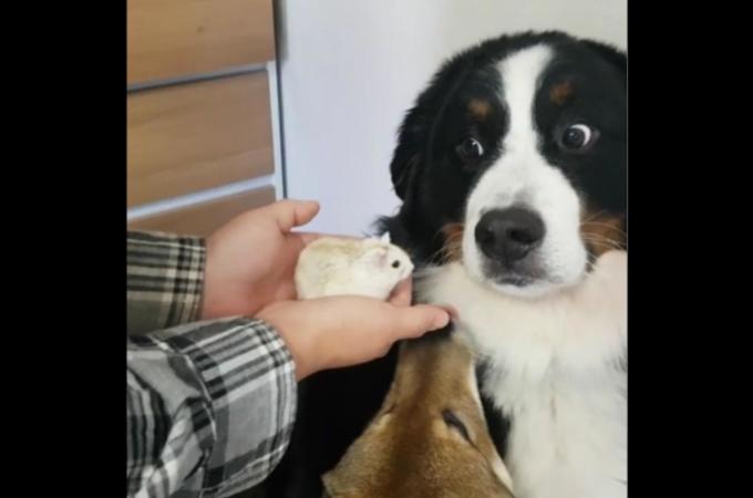 愛犬にハムスターを見せ怖がる反応を面白がる飼い主に批難殺到。飼い主として最低とのコメントに飼い主も反論。