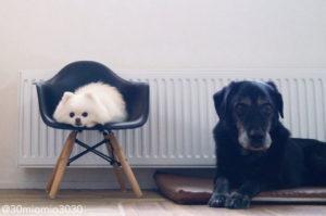 3姉妹だった兄弟犬が2匹亡くなってしまい、残されたポメラニアン。同居犬そっくりのぬいぐるみを与えてとった行動に思わず涙。