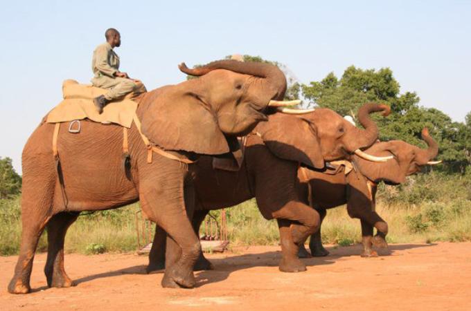 観光客を乗せて強制的に歩かされていたゾウが暴れ、スタッフが押しつぶされ死亡。その後、ゾウも射殺される。