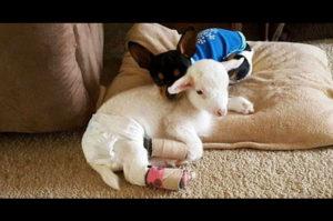 最愛の友人である子羊を亡くし悲しむチワワの心を癒したのは友人にそっくりなぬいぐるみ