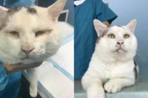 目があまり開かない猫を保護。その後、美容整形によってパッチリとした目を手に入れた、無事に里親が見つかる。