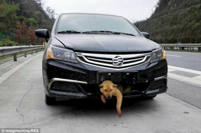 高速道路を走行中に犬をひいた男性。その後、バンパーに挟まれ生きていたことが分かると家族として迎え入れる。