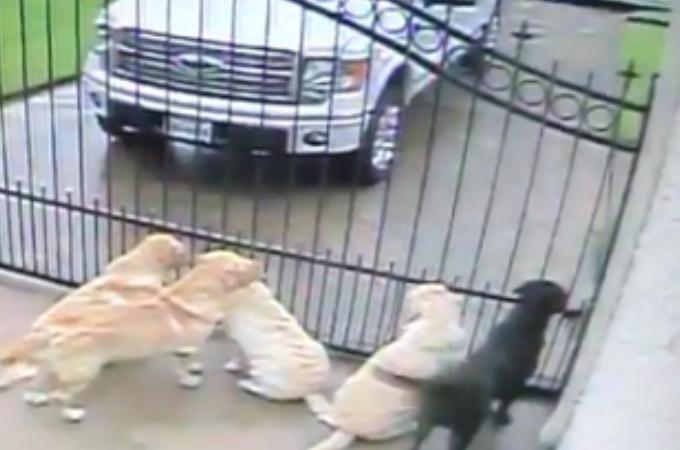 5匹の大型犬に近づく郵便配達員の男性。その後、男性がとった行動が監視カメラに映り飼い主がそれを目にする。