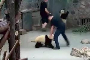 中国の動物園でパンダ繁殖研究で飼育員がパンダに暴行?この事を巡り、ネットでの意見は賛否両論。