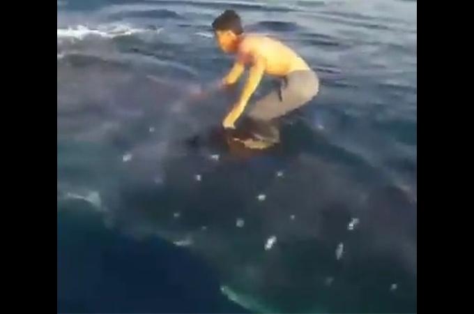 ジンベイザメの上に乗ってまるでサーフィンをするかのように遊ぶ若者。その動画が投稿されるとネットでは大炎上。