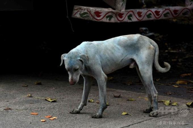 インドで発見され話題となった体が青い犬。その付近では犬や鳥などが青くなっており、原因となった工場が閉鎖となる。