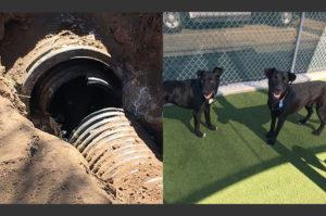 数日間排水管に閉じ込められ苦しむような鳴き声で助けを求めた2匹のラブラドール