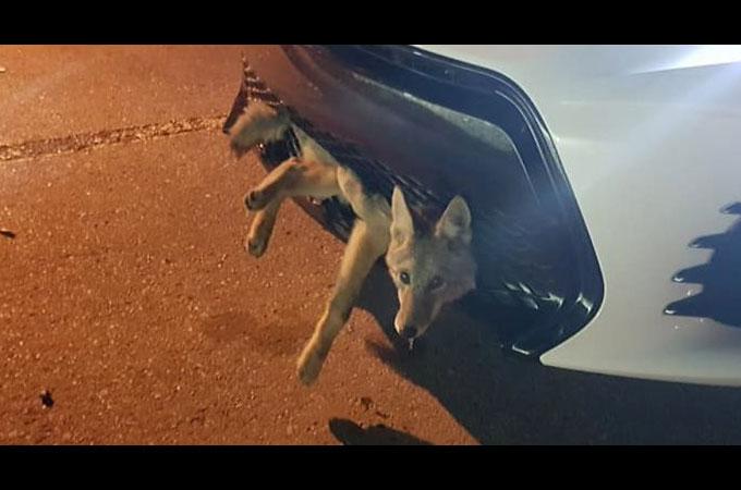車との接触事故に遭ったコヨーテが奇跡的に無傷で生還する