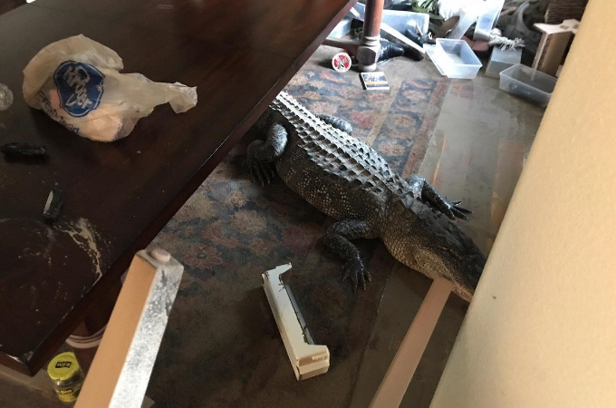 ハリケーンの影響で洪水に流され住民の家に入り込んだ巨大ワニ。そのあまりにも信じがたい光景に目を疑う!