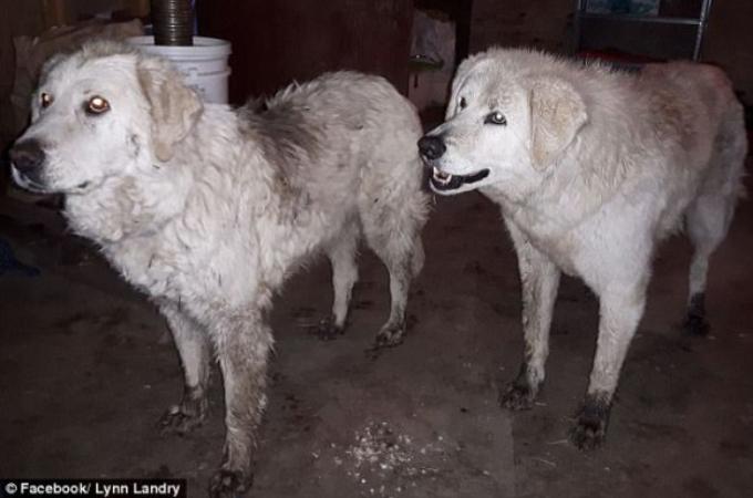 山火事から20日もの間、90匹の羊たちを守り無事に生還した2匹の牧羊犬。