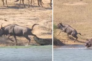 ワニに襲われ後ろ足を噛まれているヌーを救うカバ2頭。救出に成功し、ヌーが解放される動画がこちら!
