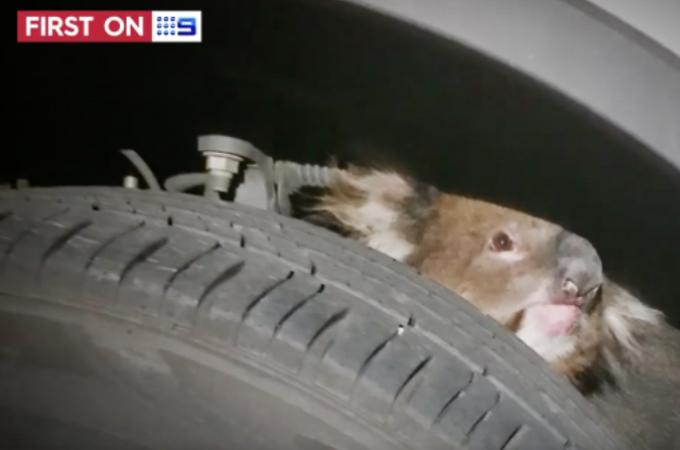 タイヤの裏に隠れていたコアラに気付かずに16キロも走行。その後、コアラの存在に気づいた運転手がとった行動と、コアラのその後とは!
