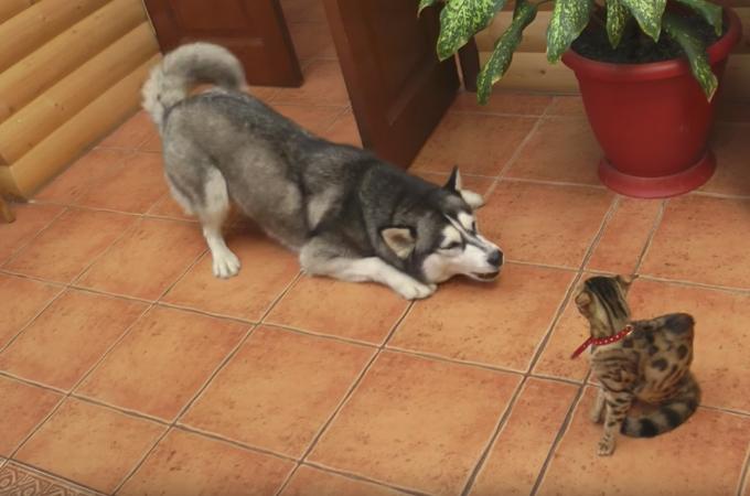 「仲良くなりたい!」新しく家族になった子猫に対し、健気にアピールするハスキー犬!