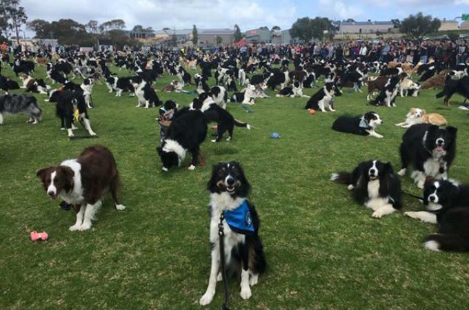 世界記録を更新するため、オーストラリアの公園に集められたボーダー・コリー犬。534匹と過去最高を記録するも、記録更新されなかった理由とは!