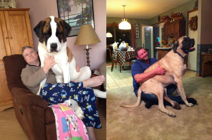 【画像】赤ちゃん気分が抜けずに飼い主に甘える超大型犬たちの画像7枚。
