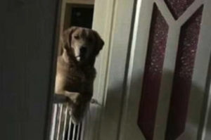 寝る時になるとフェンス越しに覗き込んでくる保護犬。その悲しすぎる理由に胸が痛む。