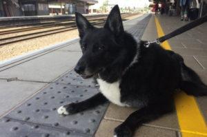 電車が大好きな14歳の老犬。9年間、毎日のように駅に通い詰めた結果、鉄道会社からあるプレゼントが渡される!