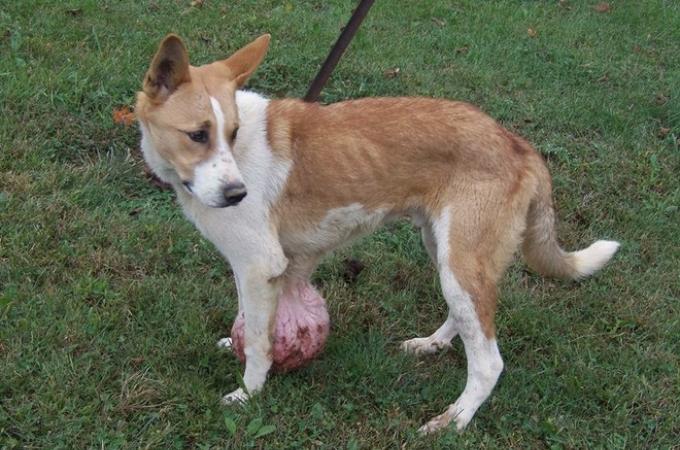 およそ2.7kgの腫瘍を胸に抱え、飼い主には「安楽死させて」と言われた子犬。無事に手術を乗り越え、多くの寄付が集まる。