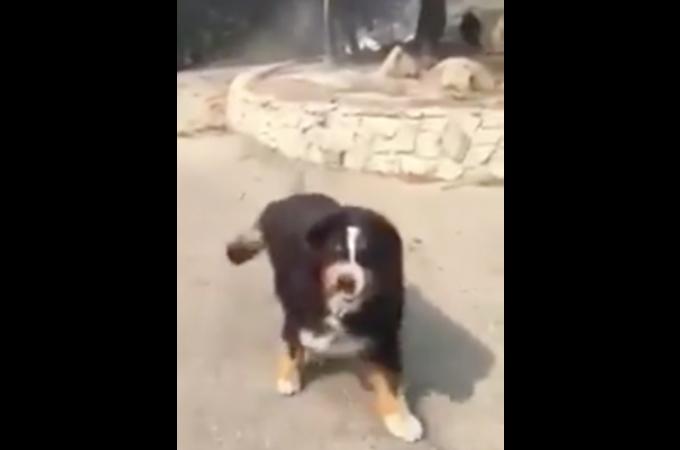 山火事によって家が全焼。飼い犬とはぐれ、自宅へと戻り捜索をする飼い主さん。そこで待っていた愛犬と無事に再会!