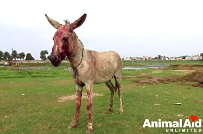 酷い虐待を受け、片方の眼球は破裂していたロバ。動物保護団体によって保護され、少しずつ人間を信頼し始める。