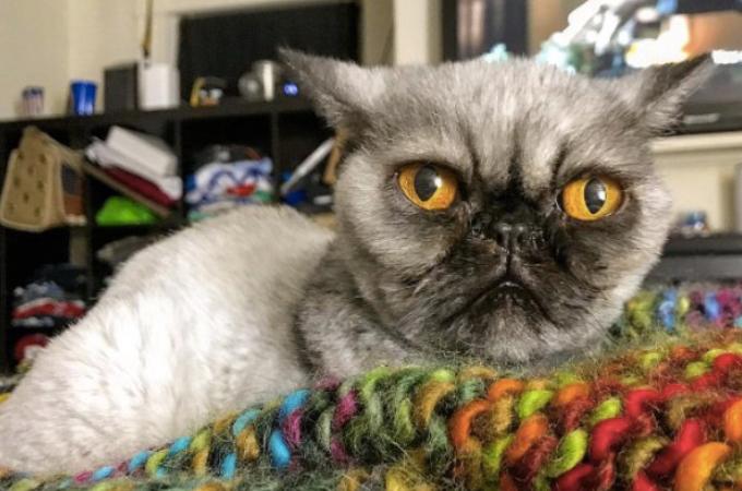 ボロボロの状態で保護されたペルシャ猫。毛を刈り、まるでパグのような姿に。優しい女性によって幸せな生活を送る。