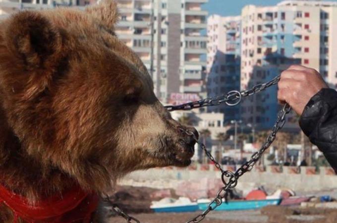 鼻に穴を開けられ鎖で繋がれ、観光客の見世物として虐待されたクマ。人生のほとんどを失いようやく救出される。