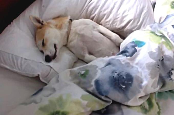 病院に行きたくないからと、いつまでたっても布団から出てこない柴犬!飼い主さんのある作戦に瞬時に食らいつく!