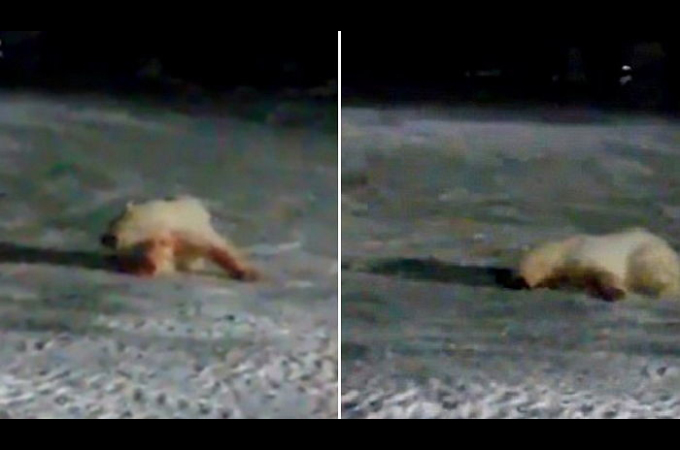 ホッキョクグマに餌付けをしていた男。ある日エサに爆竹を投げ込み、それを食べたクマは苦しみもがき死亡。