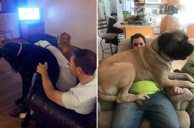 成長しても甘えたい!!子犬の頃と同じように飼い主さんに甘える超大型犬の画像12枚。