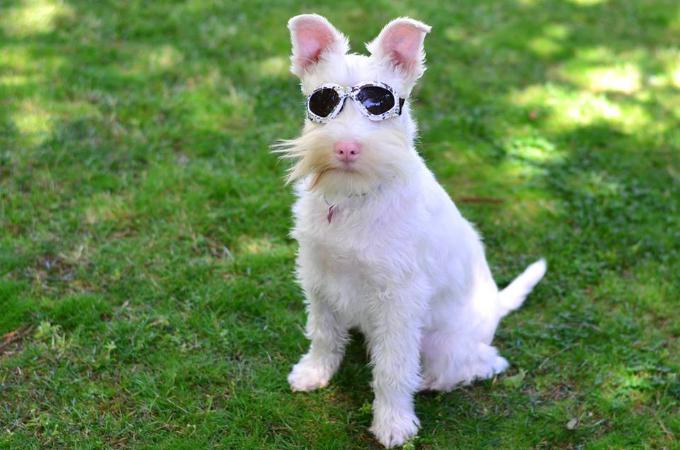散歩には日焼け止めとサングラスが必須のアルビノ犬。一時預かりの里親のもとで幸せに暮らしSNSでは人気者に!