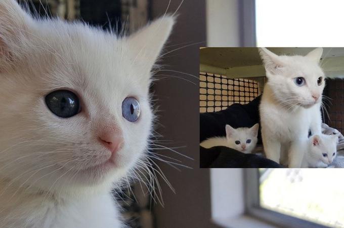 動物病院の裏で発見されたオッドアイの3匹の親子。その後、保護されると無事に3匹、同じ里親に引き取られる。