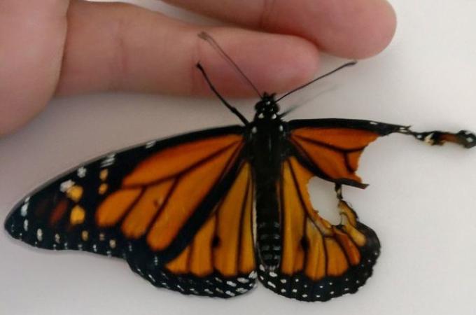 不自然な形で羽化した蝶。偶然それを見つけた女性が見つけ、移植手術をすることに。そして、その結果!