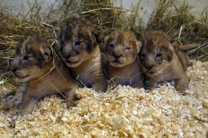 健康な子ライオンを9頭も安楽死。スウェーデンにある動物園の対応に不満の声が爆発。