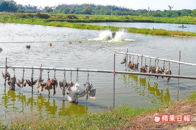 鳥害対策のため、鳥の死骸を吊るした養殖業者。これを見た人やネットから「これでは鳥ではなく、人が驚く」と非難殺到。