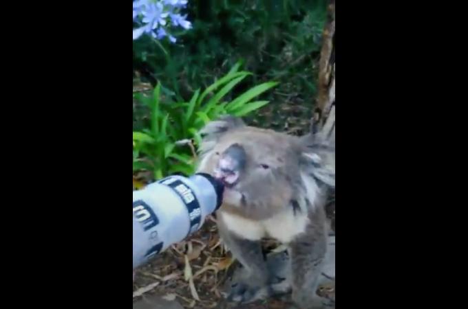 脱水症状気味のコアラを発見したサイクリスト。そこで、持っていた水を与えてみると・・・。