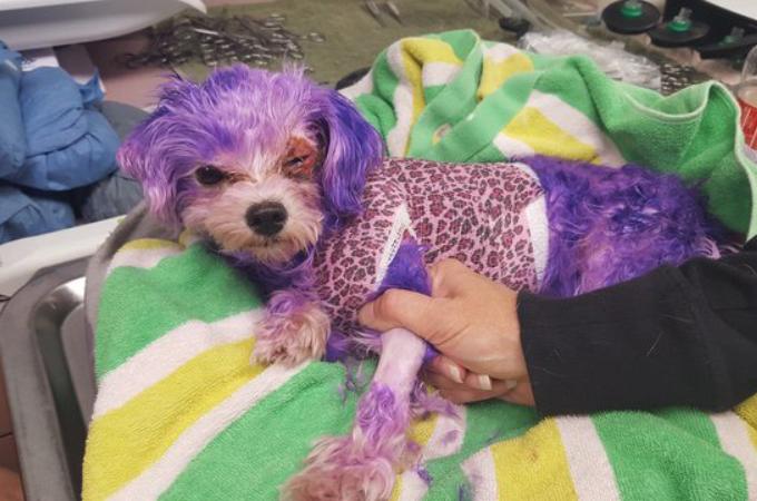飼い主に染毛剤で染められ捨てられた犬。酷い火傷を負い、瀕死の状態から何とか回復する。