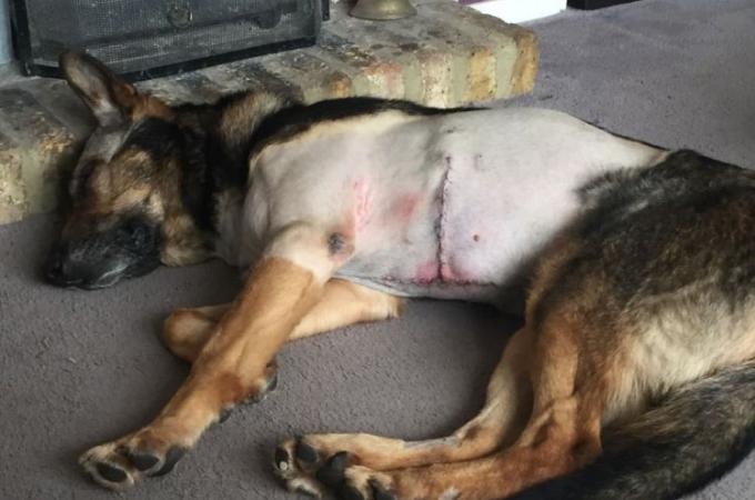 犯人に腹を切り裂かれた警察犬。「警察犬を攻撃した者に刑罰を」と訴える。