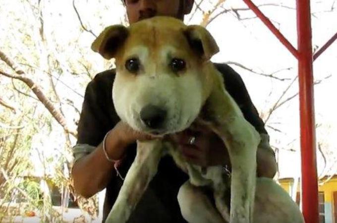 大きく顔が膨れ上がった野良犬。保護に苦労するも、明らかになった腫れの原因とは。