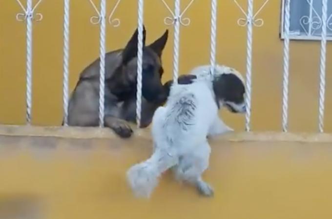 柵にはまってしまって身動きが取れない犬。その状況を救ったのは仲良しだった犬だった。