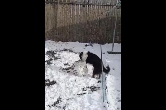 【動画】器用に雪を転がし、雪だるまを作ろうとする犬が発見される!