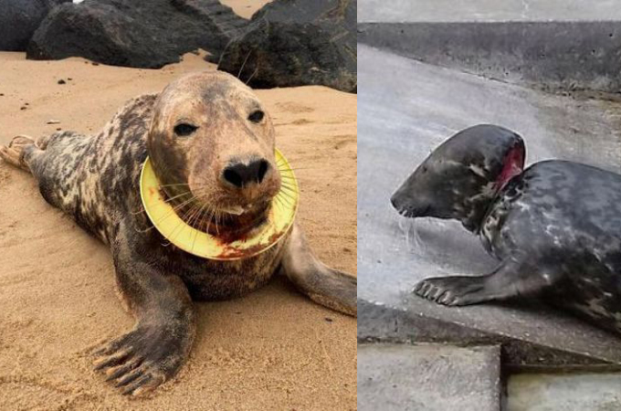 人間の捨てたゴミによって長い間苦しめられて来たアザラシ。保護され、治療後に無事自然に返される。