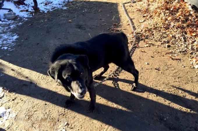 15年間という生涯のほとんどを鎖に繋がられていた高齢犬。無事に保護されて、新しい生活を満喫する。