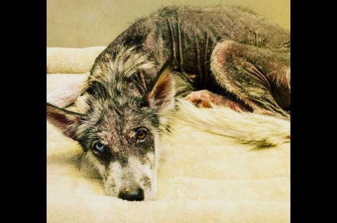 道端に捨てられ、骨と皮だけの状態だったシベリアン・ハスキー。保護されて8ヶ月後に見せた見違える姿とは。