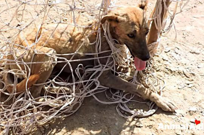 サッカーのゴールネットに絡まり動けなくなってしまった犬の救出劇。