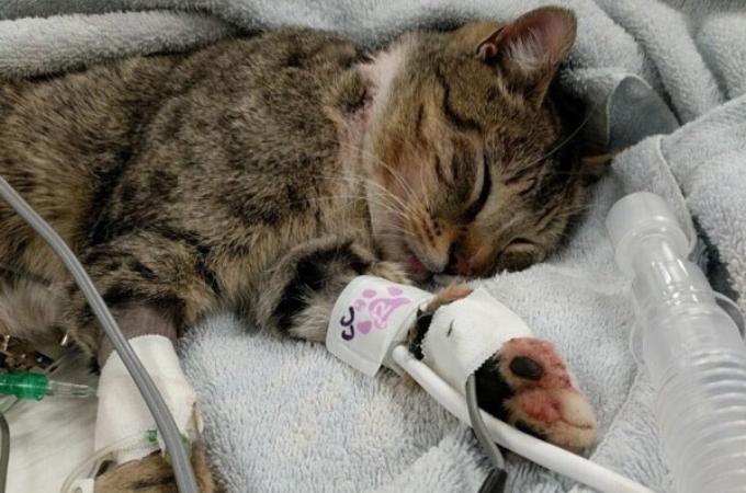 何者かによって銃で撃たれ、脊椎を痛めた猫。歩けないと思われていたものの、奇跡的な回復力をみせる。