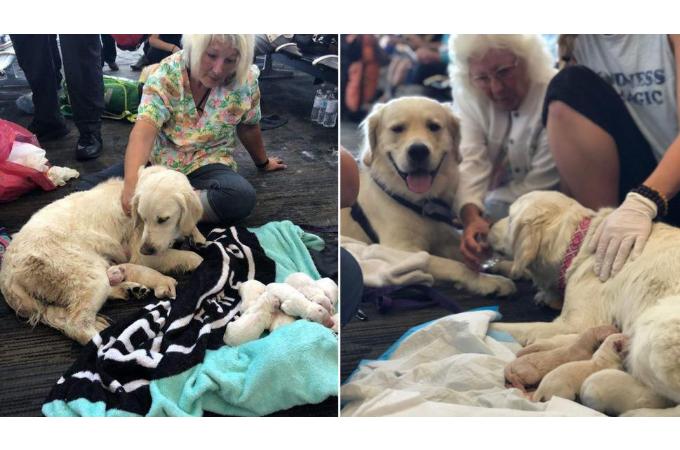 空港で介助犬が赤ちゃんを出産。その瞬間、居合わせた客から拍手が。