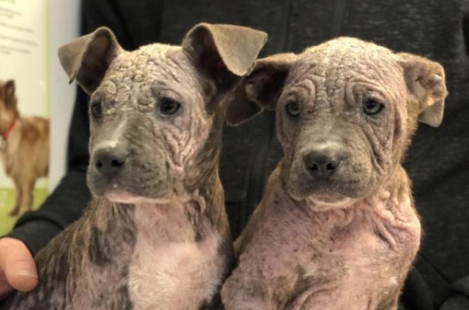 皮膚疾患によって飼い主に捨てられ行き場を失った2匹の兄弟犬。その後の2匹の運命とは。