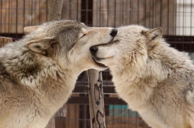 【画像】Twitterで話題になったオオカミの夫婦の様子に心が癒される。