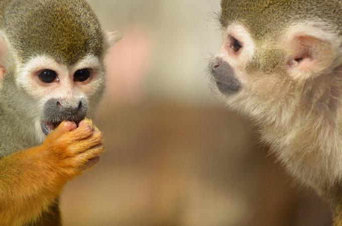 リスザルやオオガラゴなどの小型サルを飼育する上で覚えておきたい上手なエサの選びかた